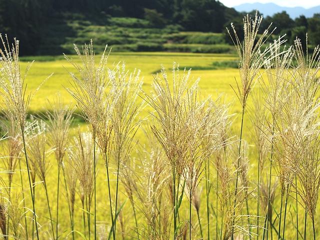 黄金色の田んぼとススキの穂