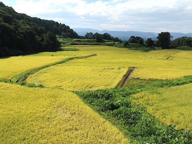 こがね色の田んぼ 金沢市小豆沢町