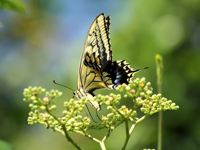 ヤブガラシとアゲハ蝶