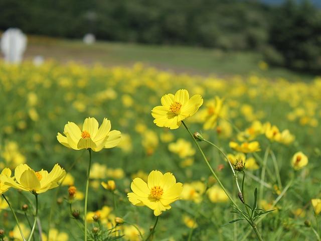 黒姫高原の黄色いコスモス
