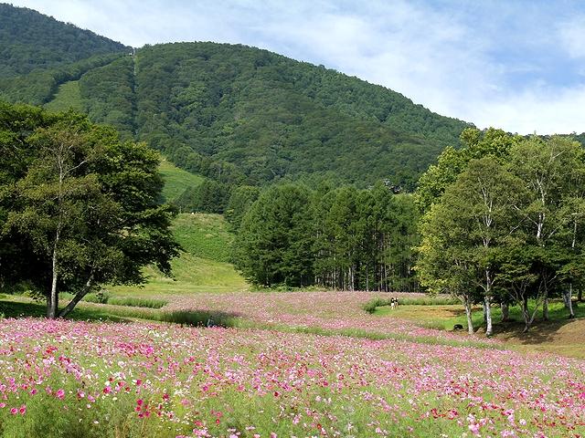 黒姫高原のコスモス