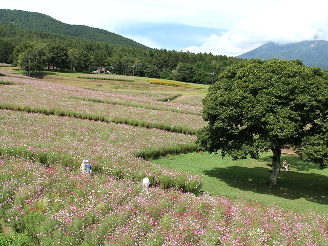黒姫高原 リフトから眺めたコスモス園