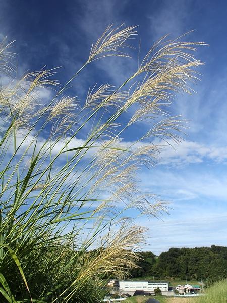 秋の空とススキの穂