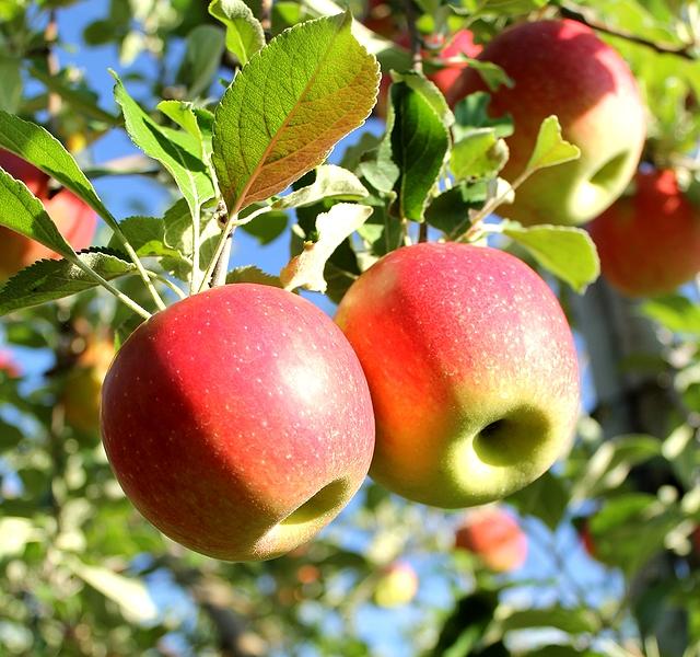 実りの秋 金沢市の果樹園のりんご