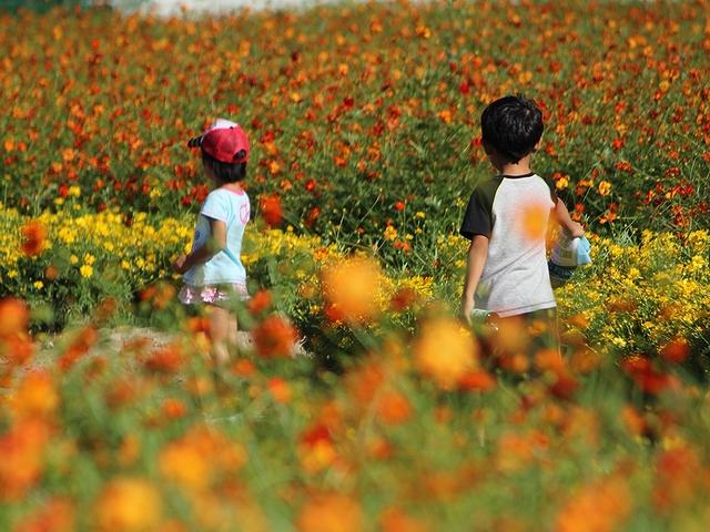南砺市 キバナコスモス園と子供たち