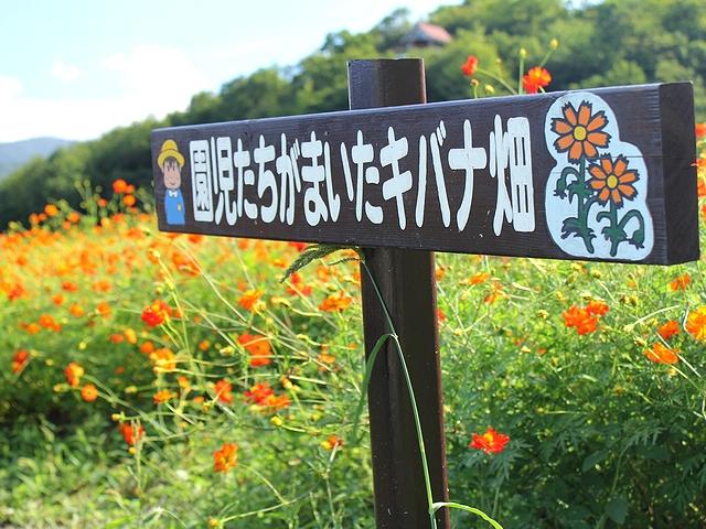 南砺市キバナコスモス園 園児たちが植えたという看板
