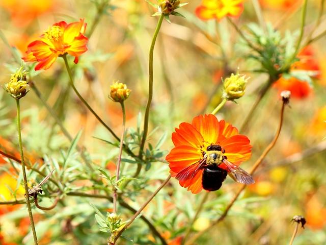 浜離宮 キバナコスモスとハチ