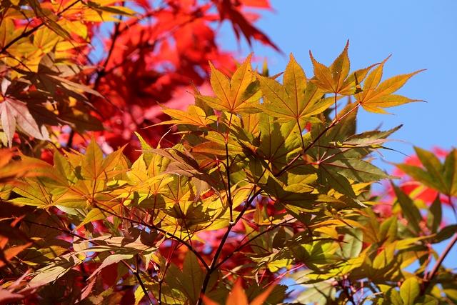 金沢城 紅葉のトップランナー