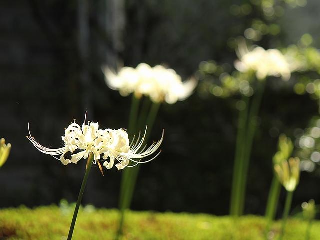金沢市香林寺の白い彼岸花