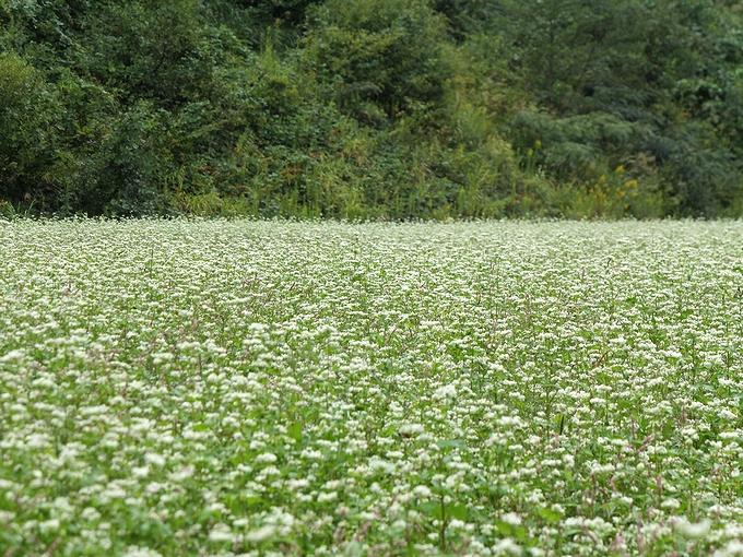 雨の蕎麦畑 石川県白山市鳥越地区