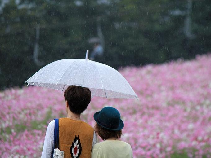 夢の平 雨のコスモス畑
