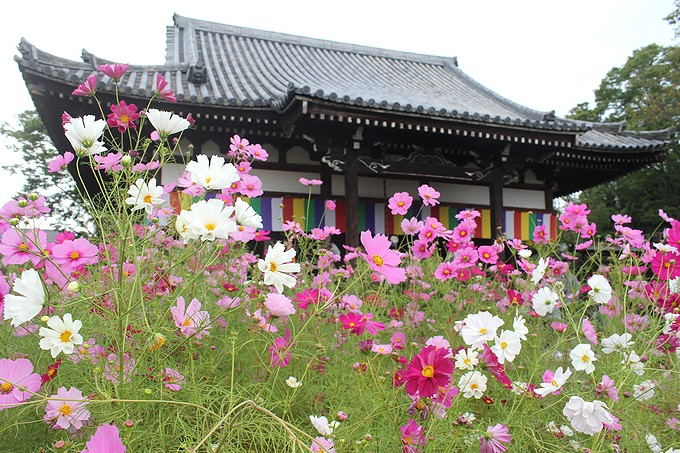 奈良のコスモス寺 般若寺本堂