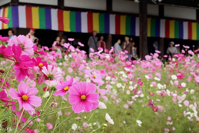 奈良のコスモス寺 般若寺