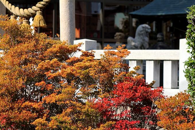 ドウダンツツジ 秋色に染まる