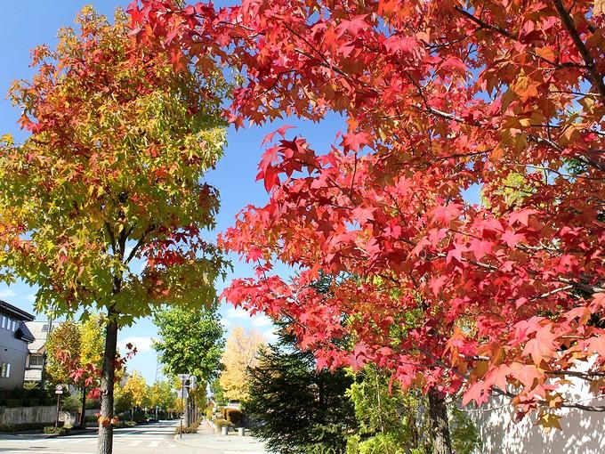 団地の楓 鮮やかに紅葉