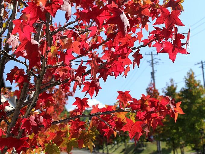 金沢市太陽が丘 楓の木の紅葉