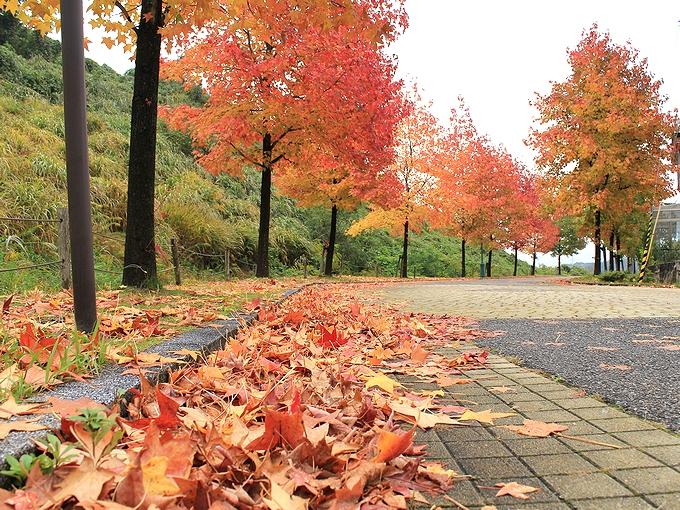 アメリカ楓の落葉 金沢市太陽が丘