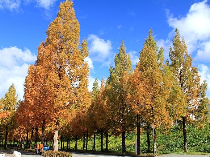 金沢市太陽が丘 メタセコイア並木の紅葉