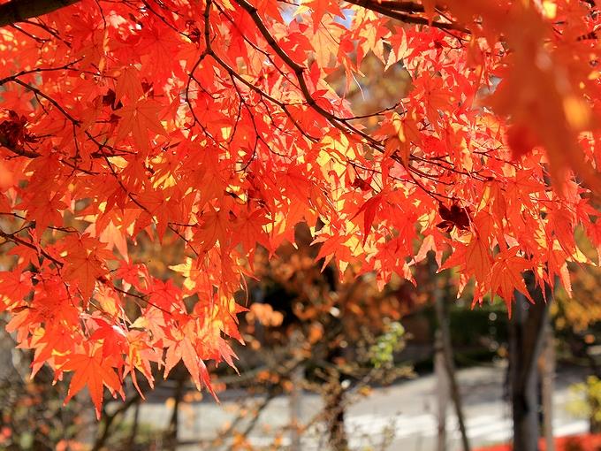 金沢市太陽が丘 真っ赤なモミジ