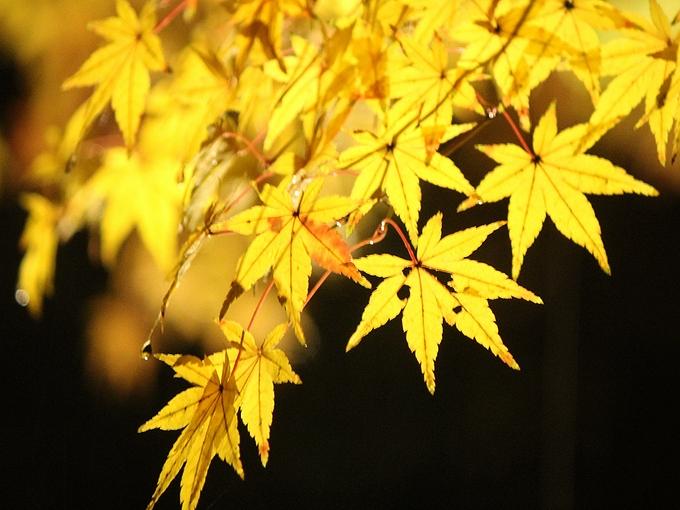 兼六園紅葉ライトアップ 黄色いモミジ