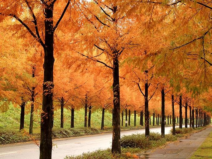 金沢・太陽が丘のメタセコイア並木紅葉