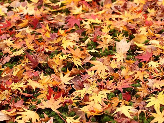 東福寺の紅葉 散り紅葉