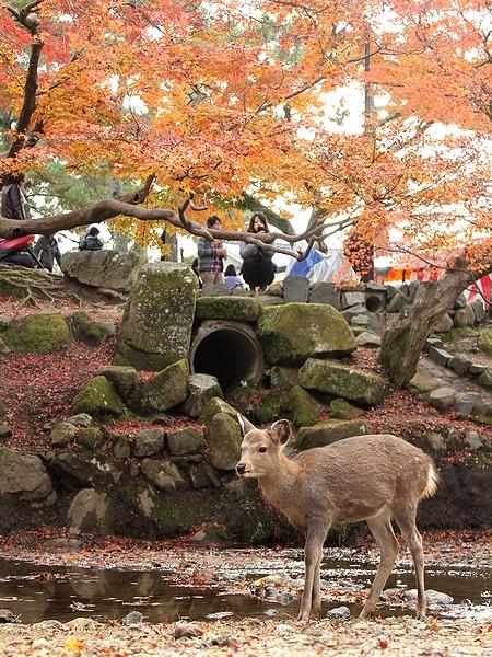 奈良公園 鹿と紅葉