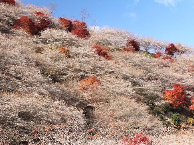 川見四季桜と紅葉