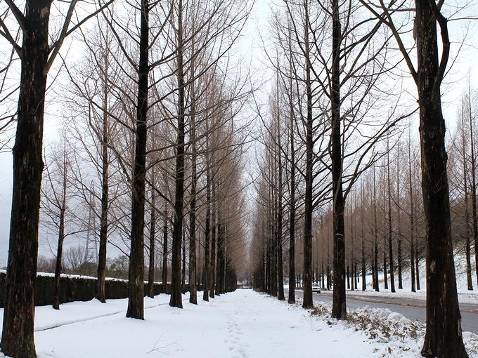 雪のメタセコイア並木 金沢市太陽が丘