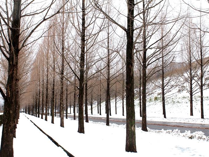 冬のメタセコイア並木 金沢市太陽が丘