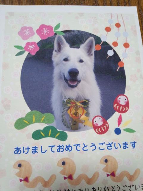 ホワイトスイスシェパード★ジャンゴくん★2013年年賀状