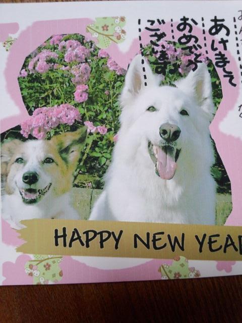 ホワイトスイスシェパード★アルネちゃん★2013年年賀状