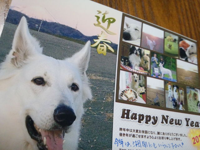 ホワイトスイスシェパード★りのちゃん★2013年年賀状