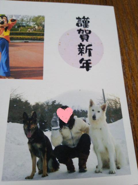 ホワイトスイスシェパード★クァイドくん★2013年年賀状