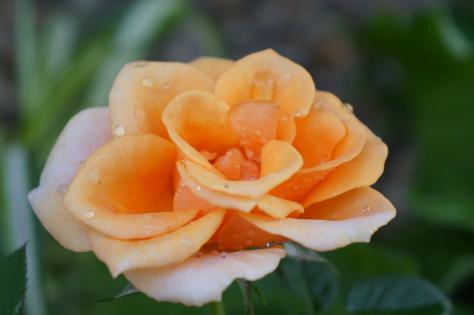 水濡れ薔薇