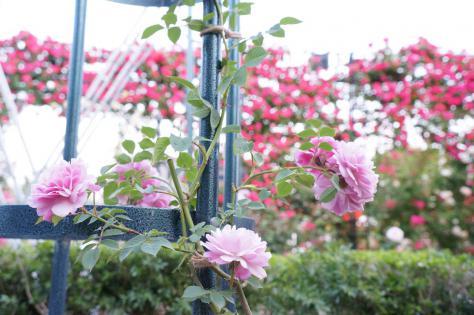 ハウステンボス薔薇
