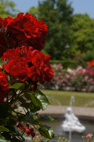 噴水と薔薇