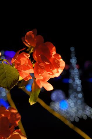 照らされる薔薇とイルミ