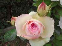 201205 うちのバラたち ピンク