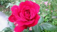 201205 うちのバラ 赤