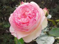 201205 うちのバラ ピンク2