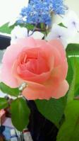 20120611 家のバラとあじさい