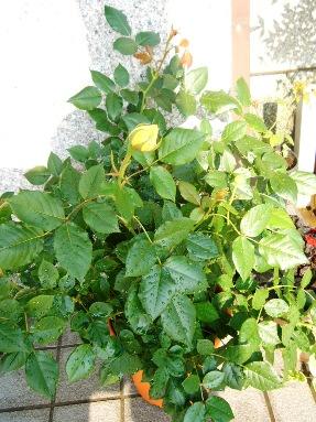 e-rose1.jpg
