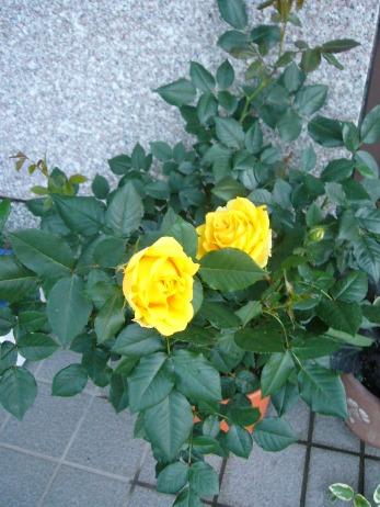 e-rose2.jpg