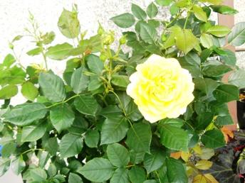 e-rose3.jpg