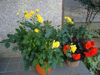 e-rose4.jpg