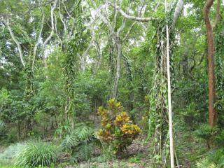 バニラの木