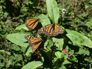 Mariposa+Monarca+047_convert_20121207043744.jpg