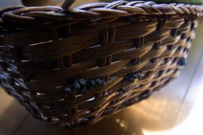 ウスタビガ卵