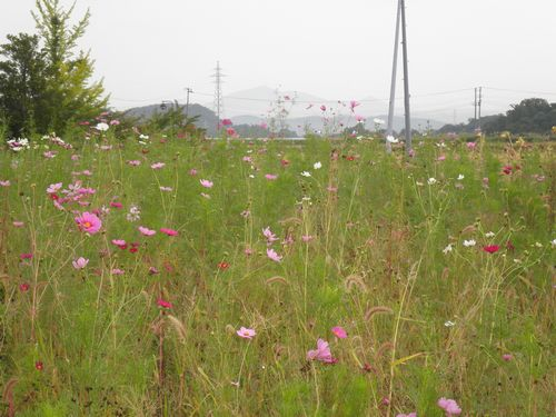 コスモス(磐越西線安子ヶ島駅前・2012年10月6日)
